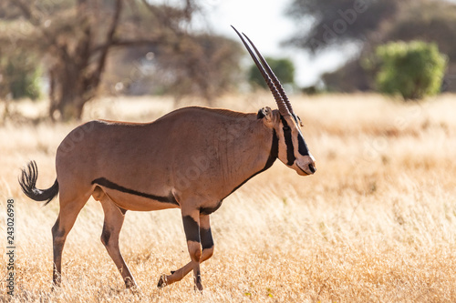 Photo Stands Antelope Oryxantilope