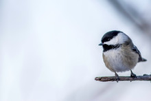 Black Capped Chickadee In The Winter