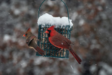 A Pair Of Cardinals Share The Suet Feeder On A Cold Snowy Day In Missouri. Bokeh Effect.