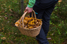 Person Walking In A Forest Holding A Filled Basket Of Winter Chanterelle Mushrooms In A Hand.