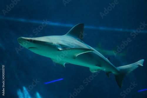 Fotografie, Obraz  Sandbar shark (Carcharhinus plumbeus).