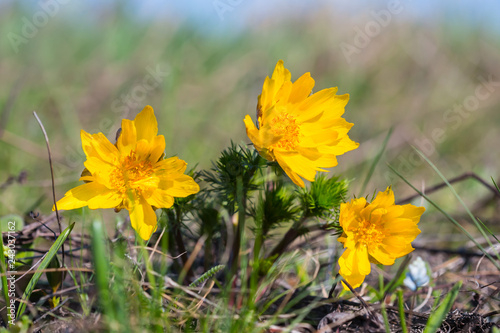 Photo heap of the adonis flowers in a spring prairie