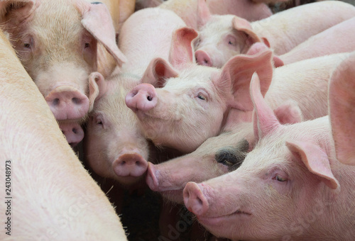 Group of pigs in farm yard. Livestock breeding.