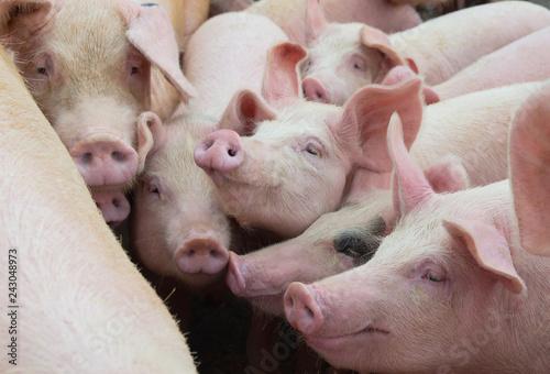 Group of pigs in farm yard. Livestock breeding.