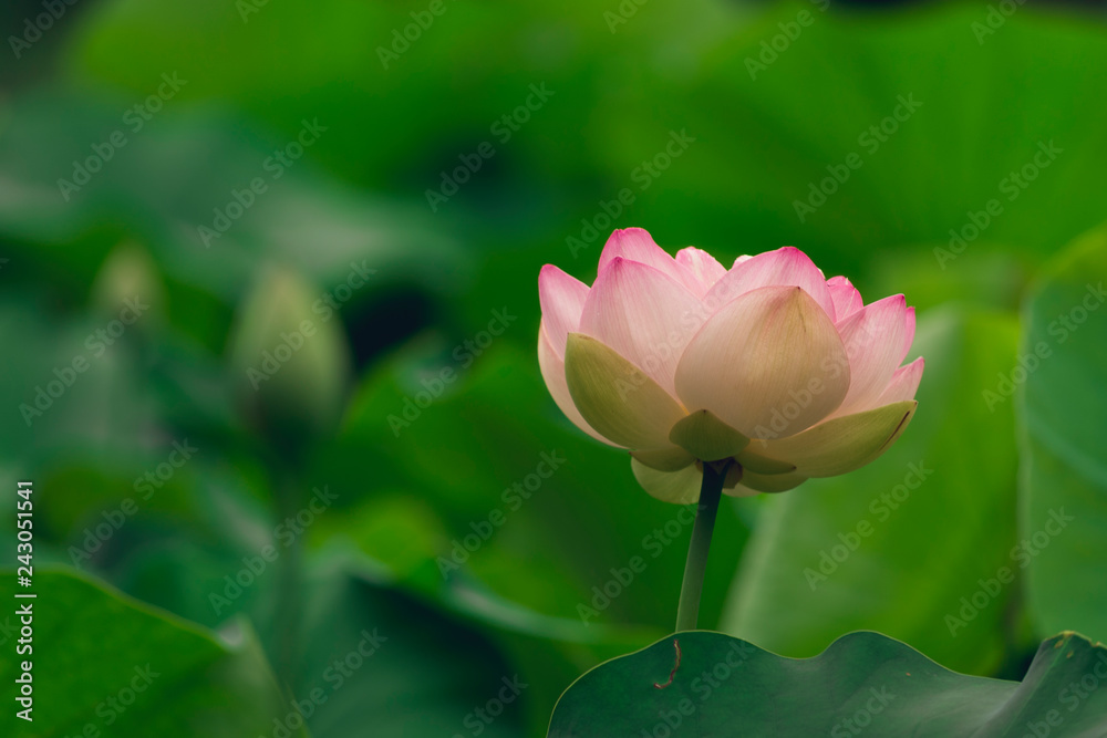 Fototapety, obrazy: blooming sacred lotus flower. space for copy.