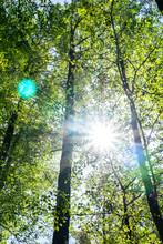 Sun Burstys Through Creating Lens Flare Between Tall Birch Trees