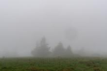 Pine Trees Lurk In The Fog