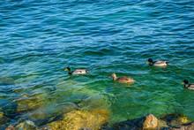 Anatre Papere E Germano Reale Su Rive Del Lago Di Garda