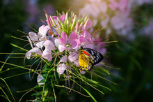 Butterfly On The Cleome Flower...