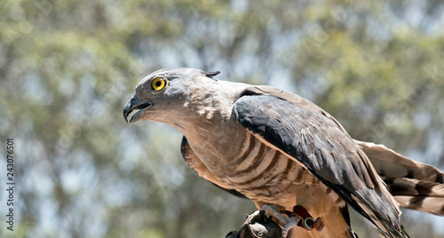Photo this is a close up of a Pacific Baza