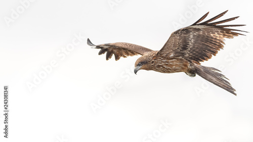 Cadres-photo bureau Aigle Black kite flying