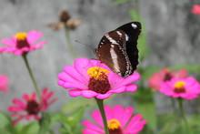 Dark-winged Butterfly