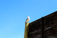 Seagull Sitting On A Wooden Fe...