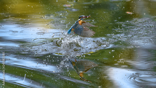 Photo Stands Bird flying and diving kingfisher