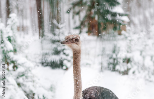 Image of an ostrich face Photo taken with natural light in winter forest