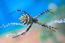 Argiope Lobata Araneidae