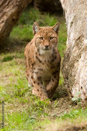 Fotobehang Lynx Europese lynx sluipt langs de boom