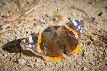 Closeup Of Red Admiral Butterfly Sitting On Ground