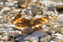 Closeup Of Red Admiral Butterfly Sitting On Stones