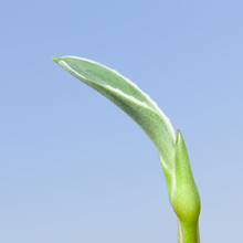 Agave Sprout Over Blue Sky