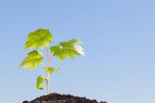 Green Growing Grape Seedling