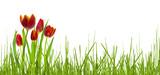 Fototapeta Tulipany - rote tulpen im frühling auf weißem hintergrund