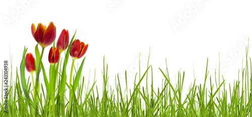 rote tulpen im frühling auf weißem hintergrund