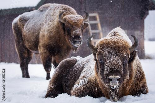 Fotografie, Obraz  Bison or Aurochs in winter season in there habitat