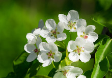 Branch Of Pear Blossom. White Flowers On A Tree