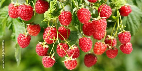Obraz na płótnie ripe raspberries in a garden