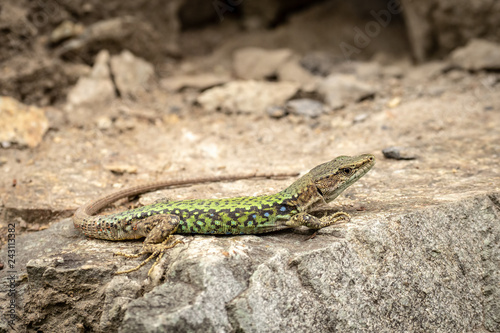Photographie  The lizard Lacerta viridis sits on a stone