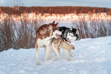 Two Dogs Siberian Husky Play O...