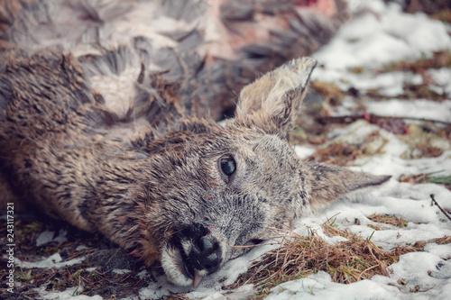 female of  European roe deer (Capreolus capreolus) killed in a forest by poacher Fototapeta