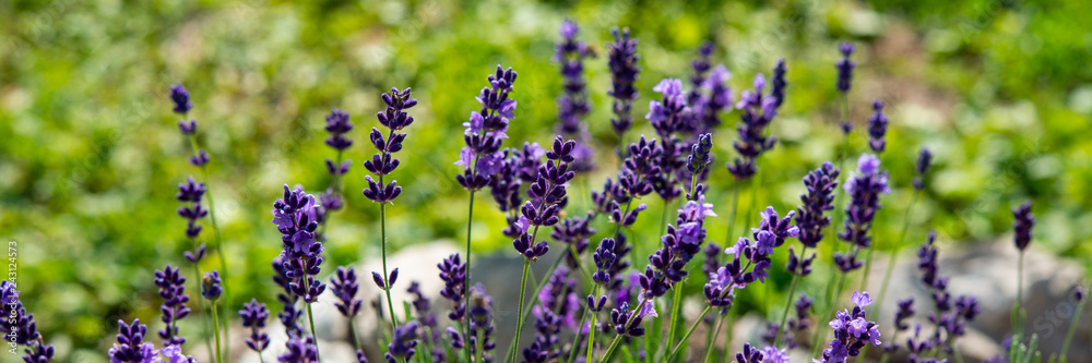 Fototapety, obrazy: Lavender flowering bush in the countryside on a meadow. Banner for design.