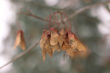 Brown Sycamore Seeds