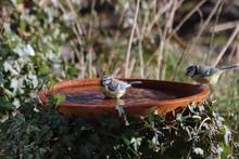 Blaumeisen An Der Vogeltränke