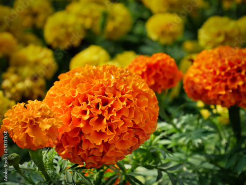Fotografía  Close-up Orange Marigold Flowers in Yellow Flowers Field