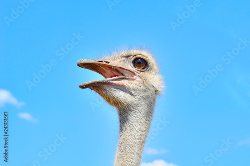 Foto op Canvas Struisvogel Portrait of an ostrich against the blue sky close up