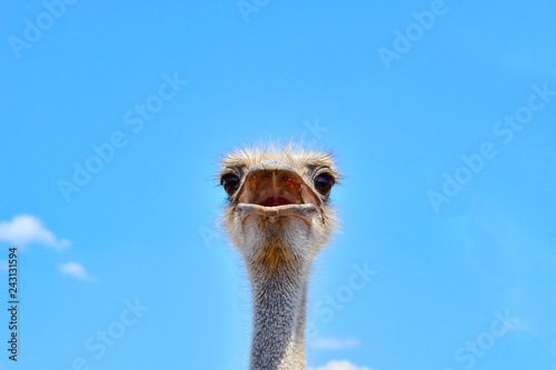 Portrait of an ostrich against the blue sky close up
