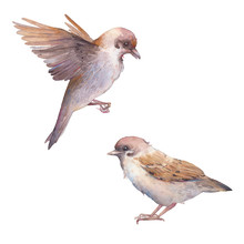 Watercolor Sparrow Birds. Hand...