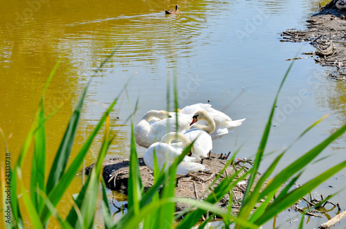 A family of white swans on the ground among the water.