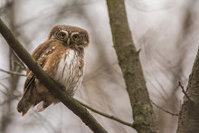 Small Pygmy Owl On Branch In F...
