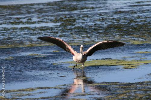 Fotografering  Flaming karłowaty