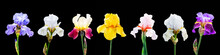 A Set Of Images Of Multicolored Iris Flowers On A Black Isolated Background_