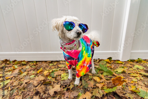 Платно Dog dressed up like a hippie