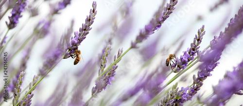 Foto honey bees in lavender