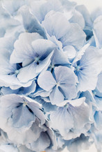 Closeup Of Blue Hydrangea Flow...