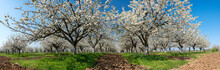 Panoramic View - Rows Of Beautifully Blossoming In White Cherry Trees On A Green Lawn In Spring