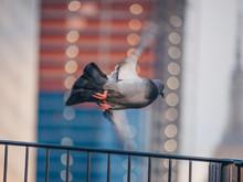 Flying Dove In New York City