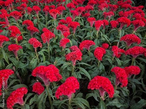 Valokuvatapetti Field of bright red chicken cockscomb flowers (Celosia cristata)